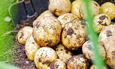 Odla potatis på tre olika sätt