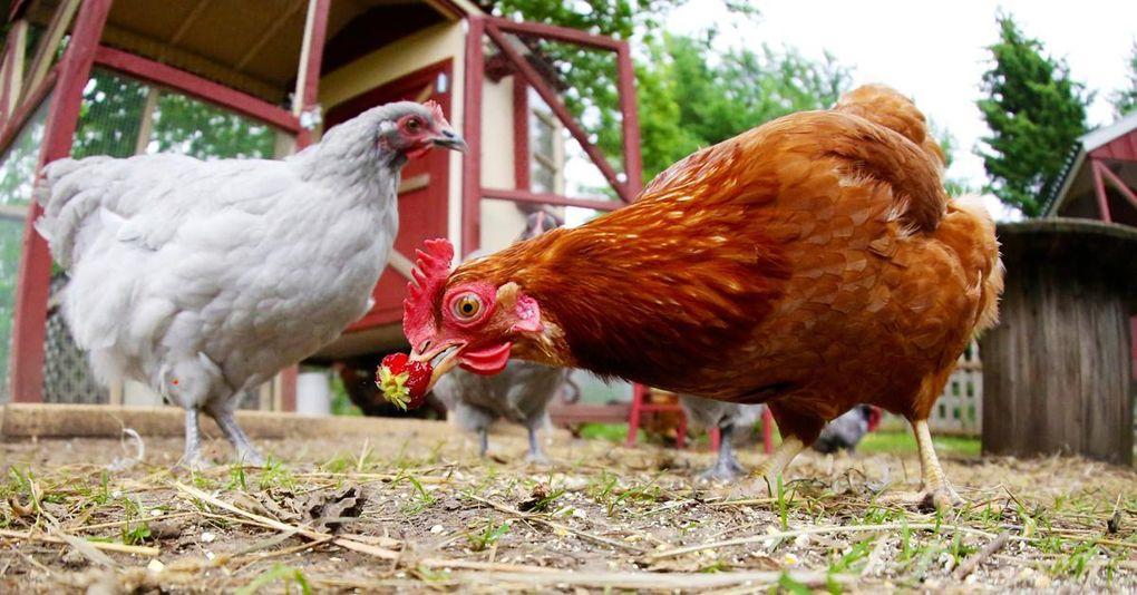 vad äter små kycklingar