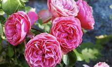 3 vackra rosor som är lätta att odla