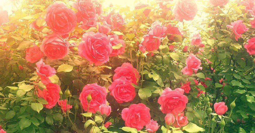 fakta om rosor