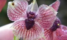 Forskare har upptäckt en helt ny unik orkidé