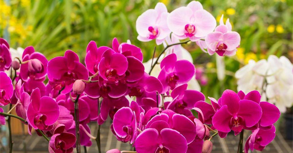 Så här lyckas du med orkidéer – 12 smarta tips