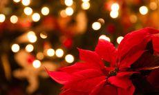 Lyckas med din julstjärna – 16 tips och råd