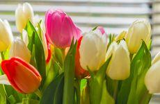 Så här håller sig dina tulpaner fina längre – 8 skötselråd