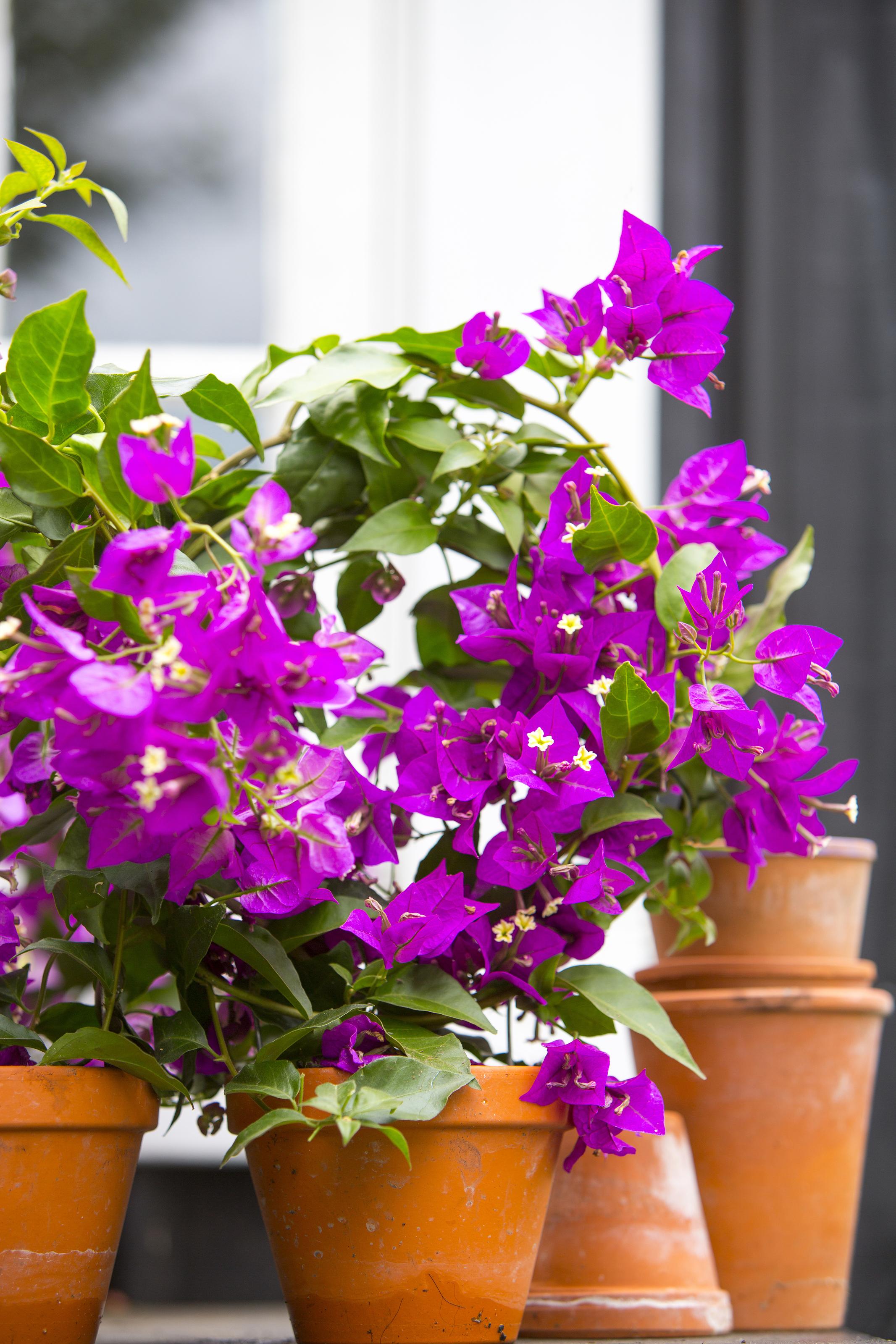 blommor som tål sol