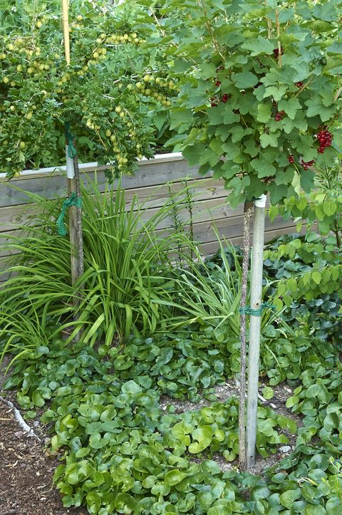 plantera svarta vinbär