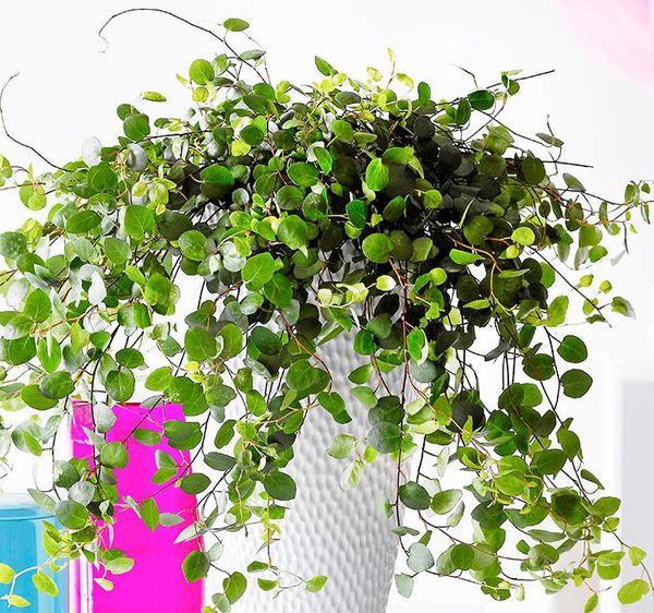 tåliga ampelväxter inomhus