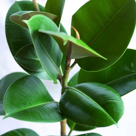 växt med stora gröna blad
