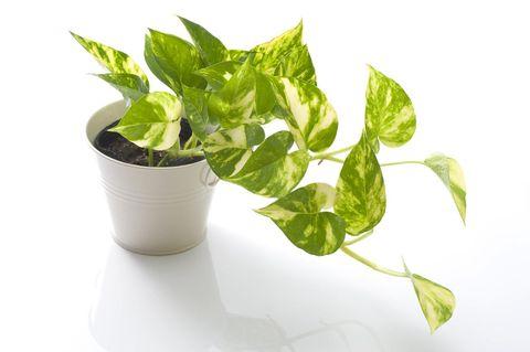 gröna växter som inte behöver ljus