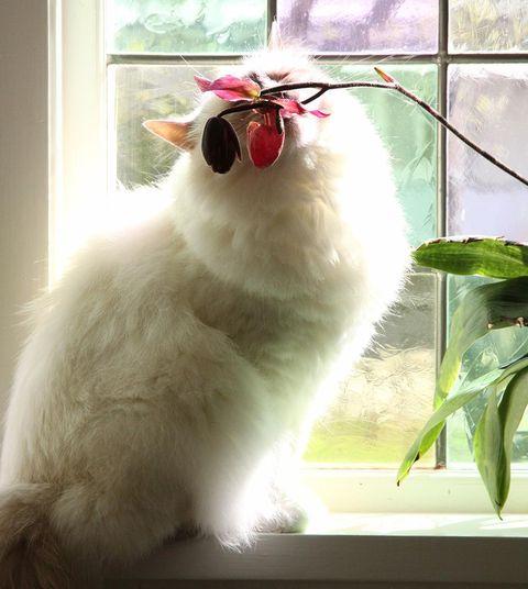 är rosor giftiga för katter